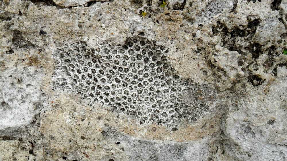 Close-up of coral in the walls of forts, Portobello, Panama.