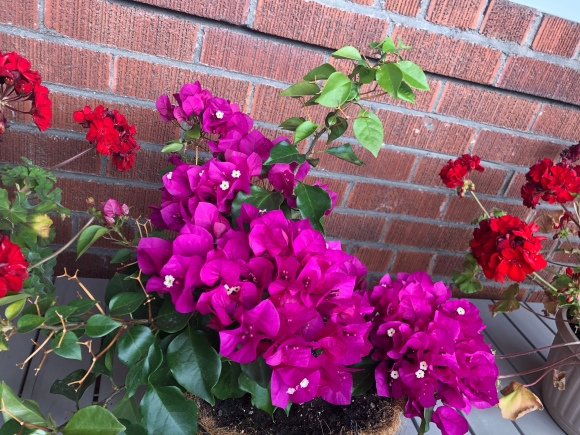 Tropical flowers in Canada: bougainvillea
