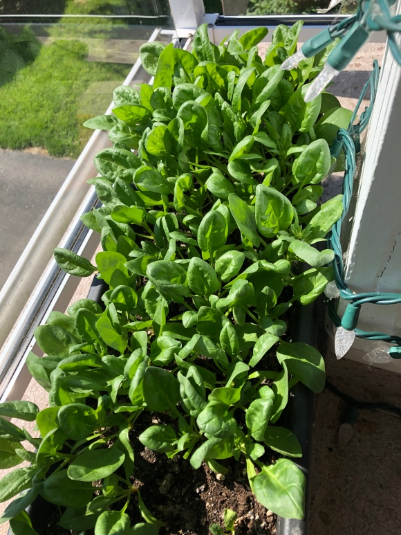 Growing your own food: spinach